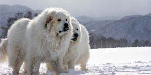 Cane da montagna dei Pirenei - profilo