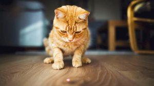 Perché i gatti inseguono i laser