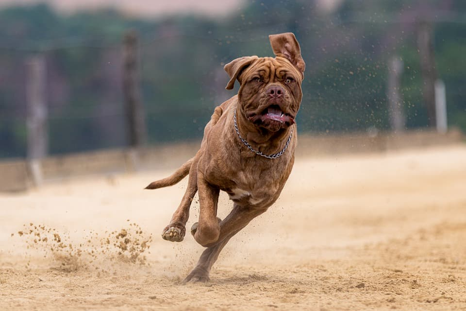 cane mastino