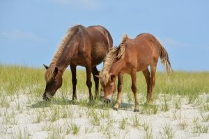 cosa mangiano i cavalli
