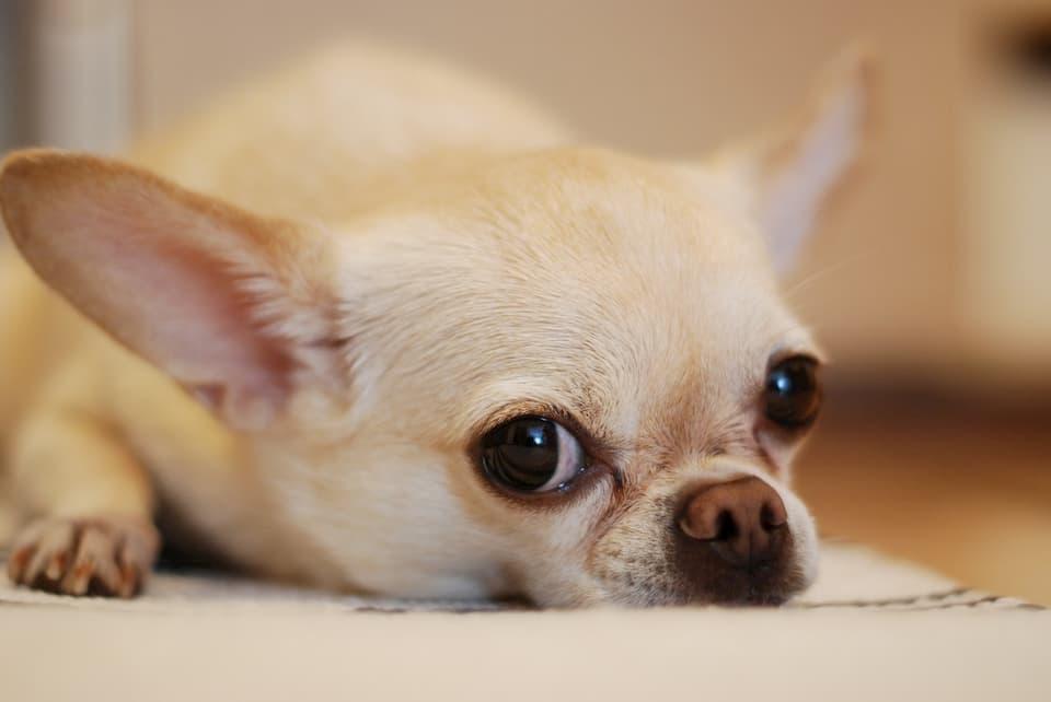 Chihuahua-1