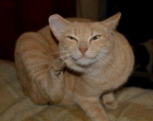 Controllo-delle-pulci-completamente-naturale-sicuro-ed-efficace-per-gatti