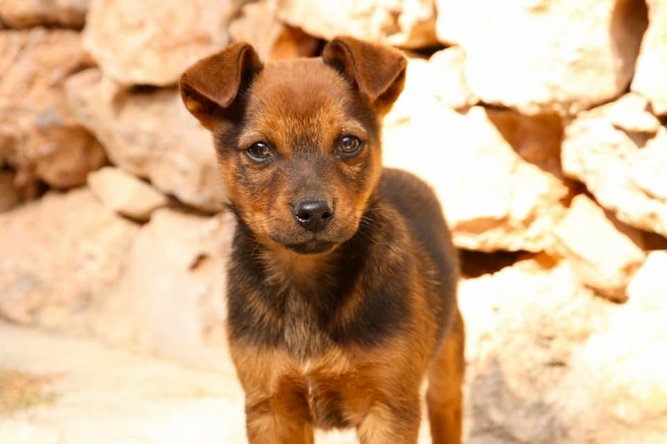 Displasia-canina-dellanca-nei-cani-sintomi-e-cure