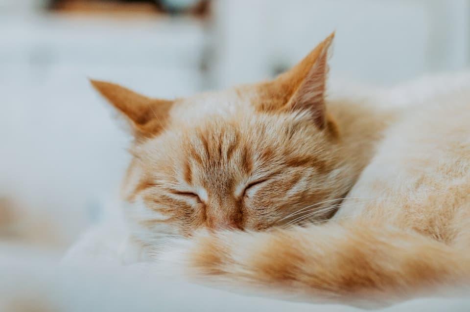Lolio-CBD-è-buono-per-i-gatti