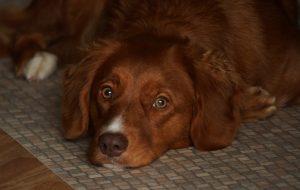 malattia-di-addison-nel-cane