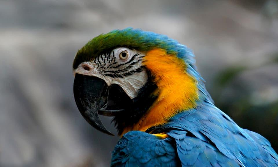 pappagallo-Ara-gialloblu